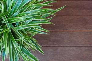 spider plant apartment  plant